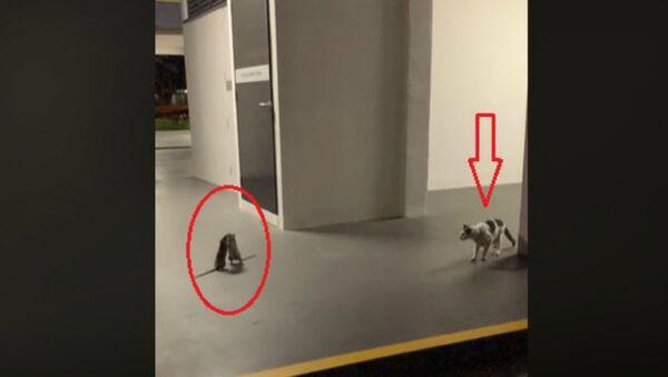 Αρουραίοι στη Σιγκαπούρη τσακώνονται μπροστά σε γάτα - Sputnik Ελλάδα
