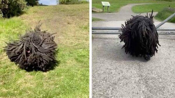 Σκύλος έχει κοτσιδάκια ράστα σαν τον Μπομπ Μάρλεϊ - Sputnik Ελλάδα