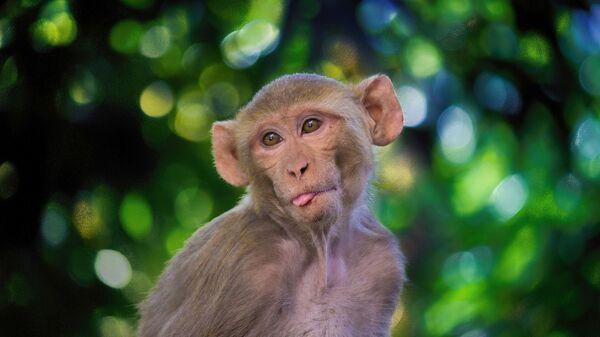 Μια μαϊμού (φωτ. αρχείου) - Sputnik Ελλάδα