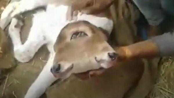 Μοσχαράκι με δύο κεφάλια γεννήθηκε στην Κίνα - Sputnik Ελλάδα