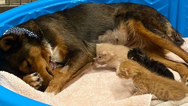 Λυκόσκυλο έχασε τα κουτάβια του και υιοθέτησε ορφανά γατάκια - Sputnik Ελλάδα