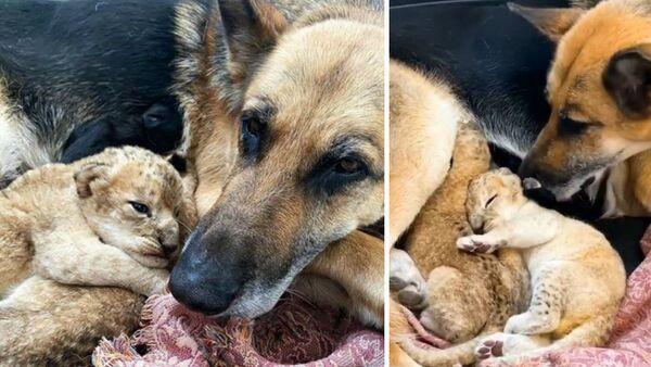 Λυκόσκυλο υιοθέτησε λιονταράκια: Η μάνα τους τα παράτησε και δεν ήθελε να τα θηλάσει - Sputnik Ελλάδα