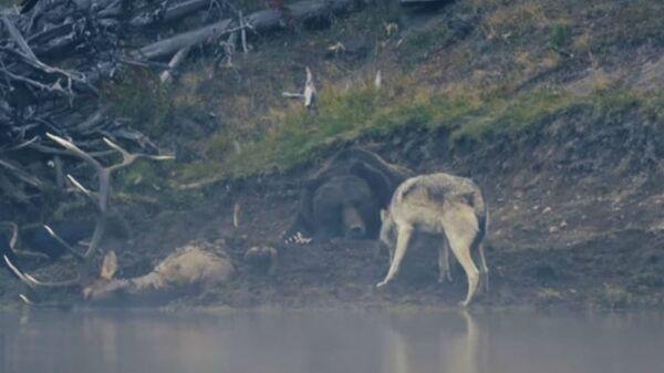 Αρκούδα γκρίζλι προστατεύει το φαγητό της από λύκο στο πάρκο Yellowstone στις ΗΠΑ - Sputnik Ελλάδα