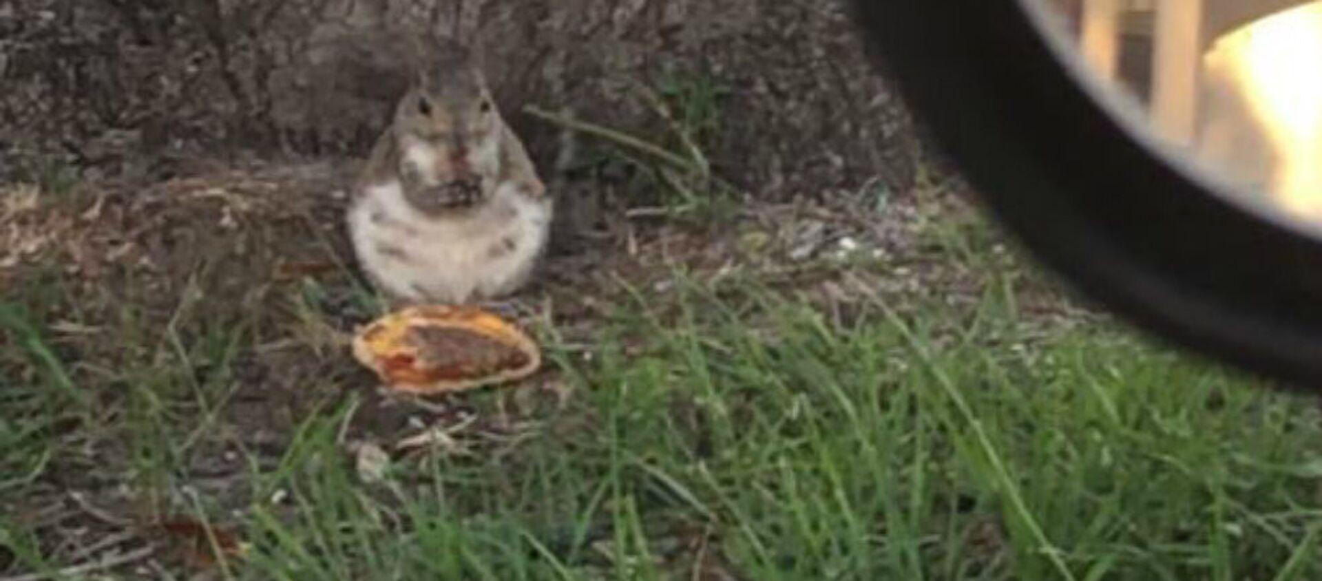 Χοντρούλης σκίουρος τρώει χάμπουργκερ - Sputnik Ελλάδα, 1920, 04.10.2020