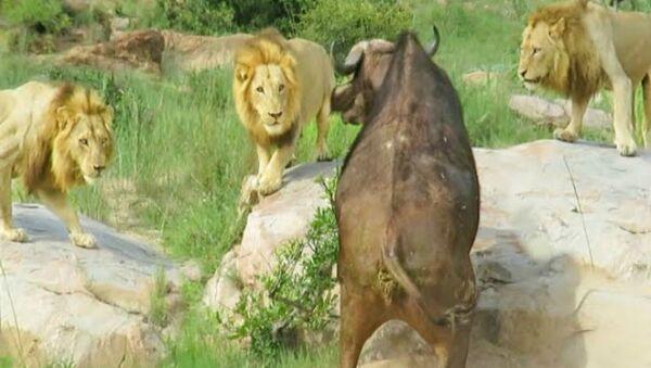 Λιοντάρια περικυκλώνουν βουβάλι στο εθνικό πάρκο Kruger, στην Κένυα - Sputnik Ελλάδα