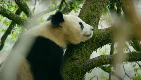 Άγριο πάντα ανεβασμένο σε δέντρο σε ορεινή περιοχή της κεντρικής Κίνας - Sputnik Ελλάδα