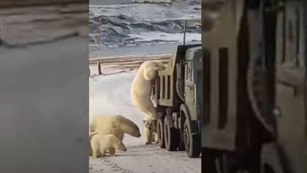 Πολικές αρκούδες σκαρφαλώνουν σε σκουπιδιάρικο στη Ρωσία - Sputnik Ελλάδα