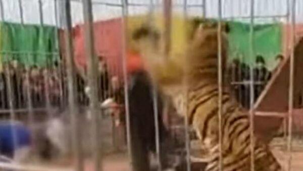 Τίγρης σε τσίρκο επιτίθεται στον θηριοδαμαστή κατά τη διάρκεια παράστασης - Sputnik Ελλάδα