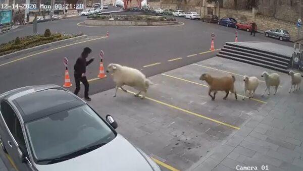 Αιγοπρόβατα κάνουν κατάληψη σε δημαρχείο στην Τουρκία και επιτέθηκαν σε δημοτικά στελέχη - Sputnik Ελλάδα