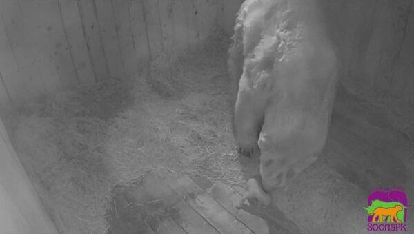 Πολικό αρκουδάκι γεννήθηκε στον ζωολογικό κήπο του Ροστόβ-ον-Ντον μετά από 32 χρόνια  - Sputnik Ελλάδα