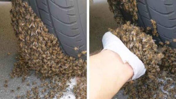 Άντρας αφαιρεί χιλιάδες μέλισσες που έχουν κολλήσει σε ρόδα αυτοκινήτου στο Σαν Ντιέγκο της Καλιφόρνιας - Sputnik Ελλάδα