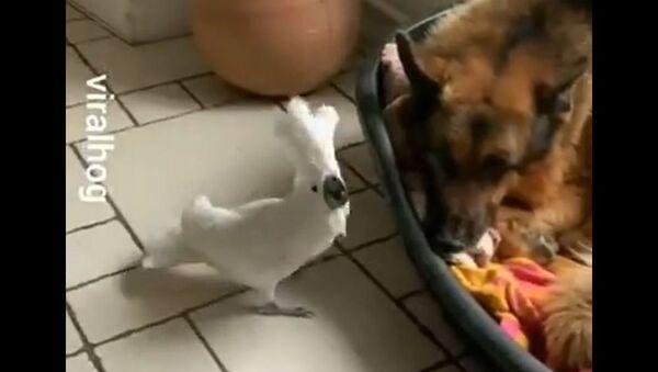 Φωνακλάς παπαγάλος γαβγίζει σαν σκύλος δίπλα σε λυκόσκυλο - Sputnik Ελλάδα