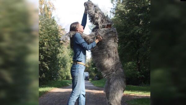 Ιρλανδικά γουλφχάουντ ή αλλιώς γίγαντες για χάδια: Οι σκύλοι που όρθιοι φτάνουν τα δύο μέτρα  - Sputnik Ελλάδα