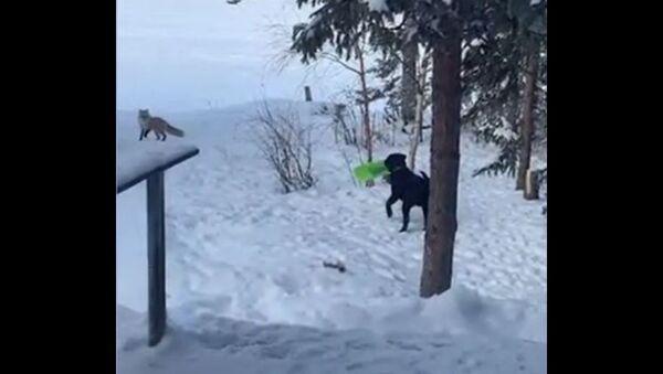 Σκύλος λαμπραντόρ παίζει με αλεπού στο χιόνι - Sputnik Ελλάδα