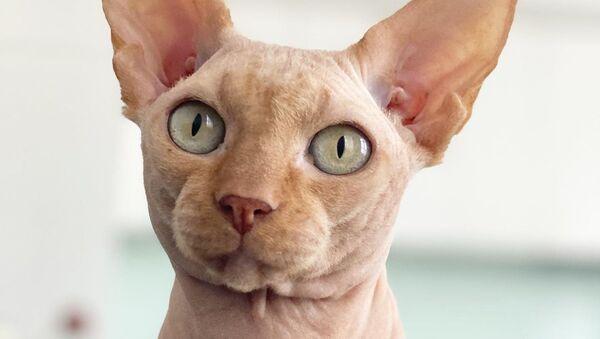 άτριχη γάτα - Sputnik Ελλάδα