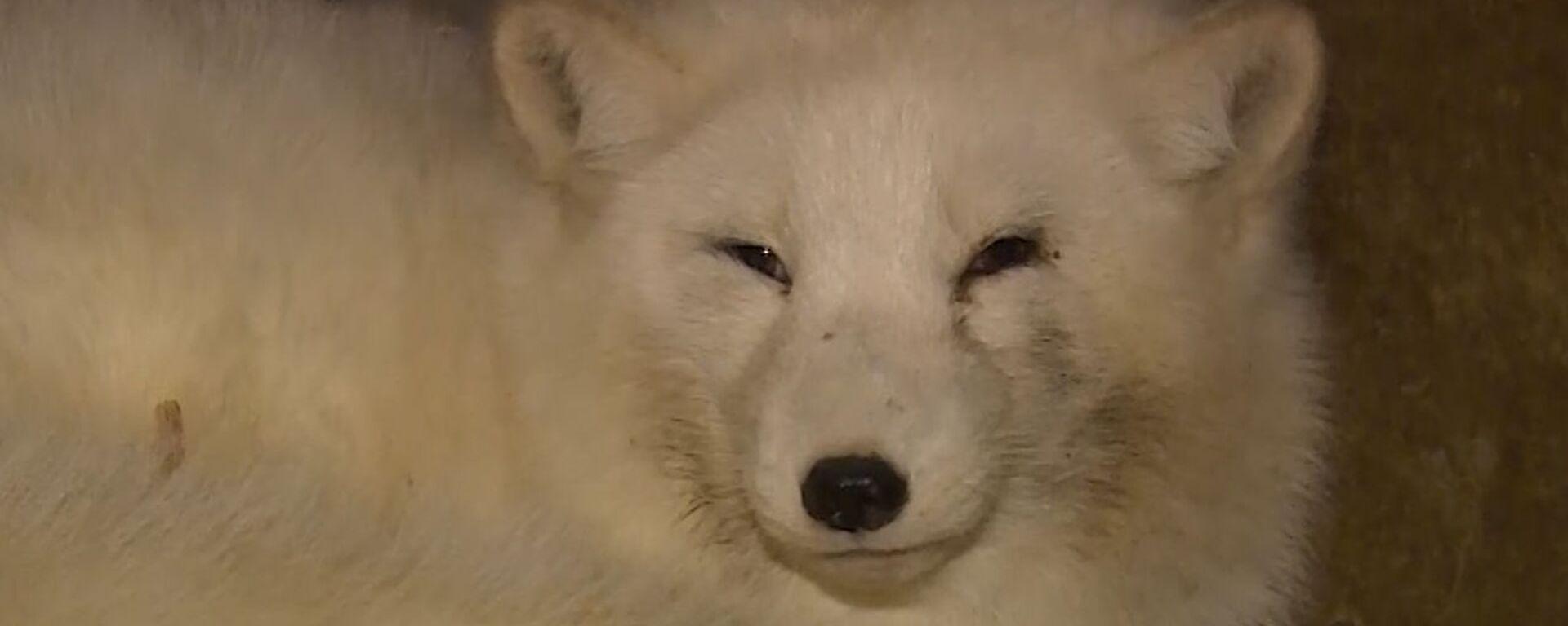 «Δικαίωμα στη ζωή»: Γυναίκα στη Ρωσία έσωσε πάνω από 40 αρκτικές αλεπούδες από τη σφαγή - Sputnik Ελλάδα, 1920, 10.02.2021