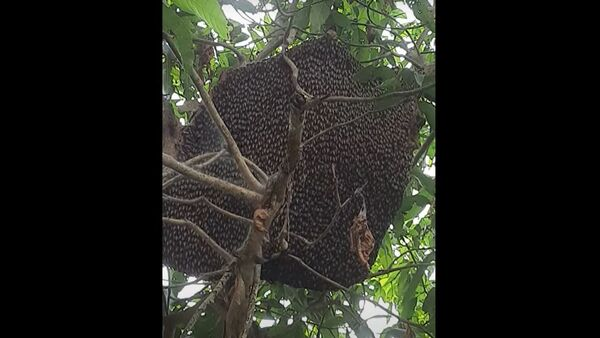 Μέλισσες κινούνται συγχρονισμένα για να αποθαρρύνουν τους θηρευτές και να προστατεύσουν την κυψέλη - Sputnik Ελλάδα