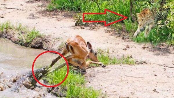 Αντιλόπη σώζεται από κροκόδειλο και την τρώει λεοπάρδαλη - Sputnik Ελλάδα