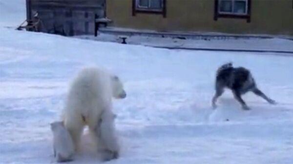 Πολική αρκούδα προσπαθεί να προστατέψει τα μωρά της από επίθεση σκύλων - Sputnik Ελλάδα