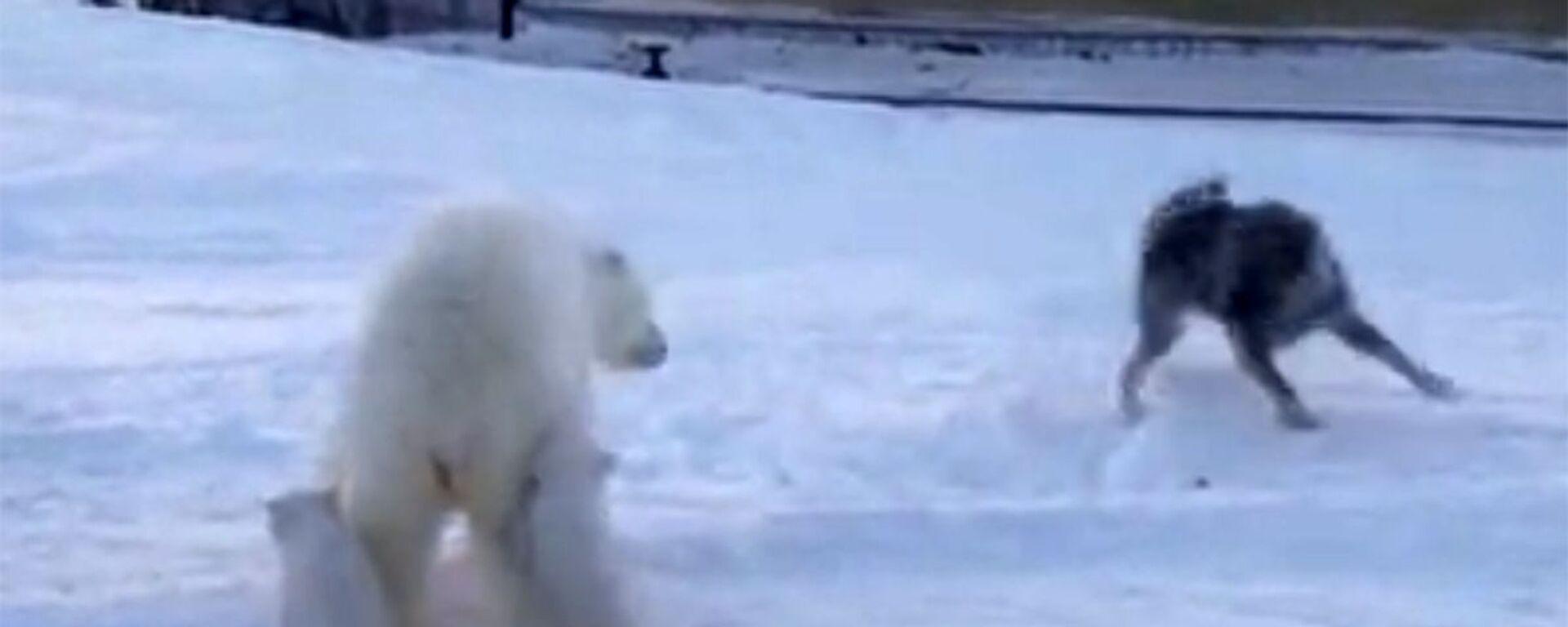 Πολική αρκούδα προσπαθεί να προστατέψει τα μωρά της από επίθεση σκύλων - Sputnik Ελλάδα, 1920, 18.02.2021
