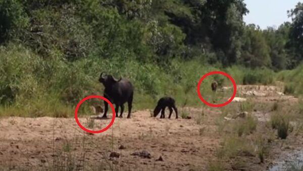 Θηλυκό βουβάλι ορμάει σε λεοπάρδαλη και λιοντάρι για να σώσει το μικρό του - Sputnik Ελλάδα