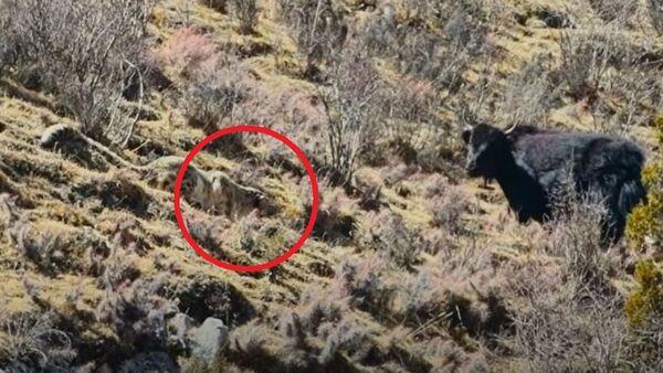 Λεοπάρδαλη του χιονιού παραμονεύει να επιτεθεί σε νεαρό γιακ - Sputnik Ελλάδα