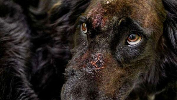 Σκύλος χρησιμοποιήθηκε ως «ζωντανός στόχος» - Δέχτηκε 30 σφαίρες και παρόλα αυτά κατάφερε να επιζήσει - Sputnik Ελλάδα