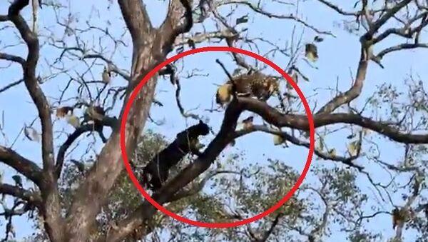 Μαύρος πάνθηρας εναντίον λεοπάρδαλης στο εθνικό καταφύγιο Kabini στην Ινδία - Sputnik Ελλάδα
