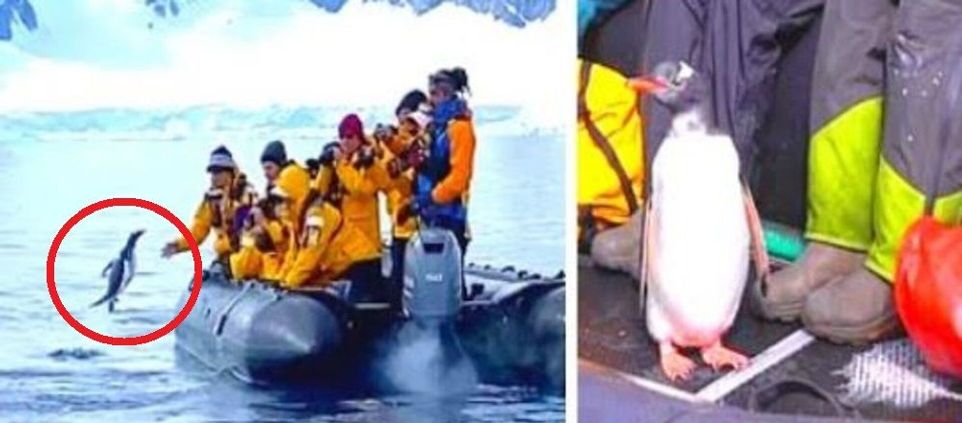 Πιγκουίνος πηδάει έξω από το νερό μέσα σε βάρκα με τουρίστες για να σωθεί από φάλαινα-δολοφόνος - Sputnik Ελλάδα, 1920, 10.03.2021