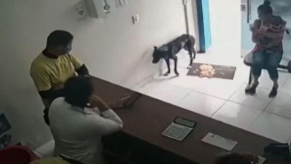 Τραυματισμένο σκυλάκι μπαίνει σε κτηνιατρείο για να ζητήσει βοήθεια - Sputnik Ελλάδα