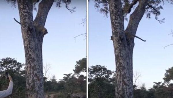 Λεοπάρδαλη κυνηγάει σκίουρους επάνω σε δέντρο - Sputnik Ελλάδα