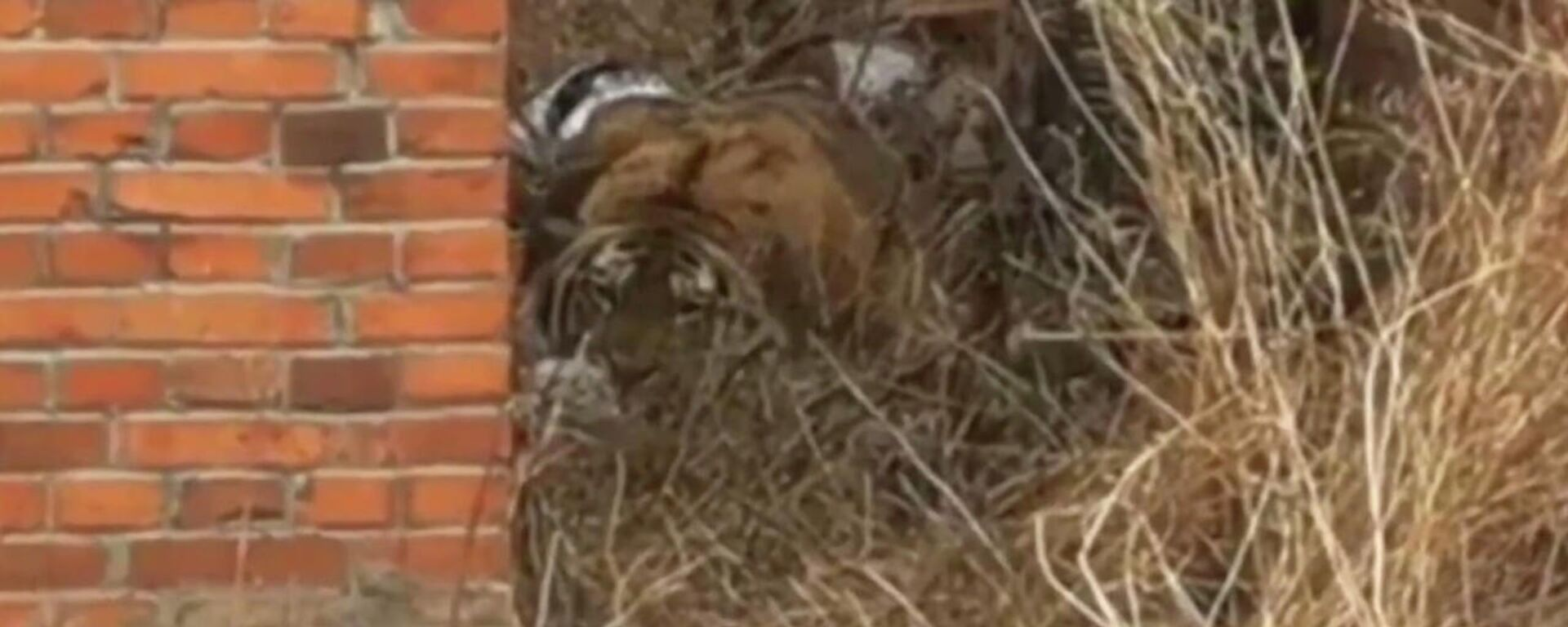 Φοβισμένη τίγρης τρομοκρατεί τους κατοίκους ενός χωριού στην Κίνα - Sputnik Ελλάδα, 1920, 27.04.2021