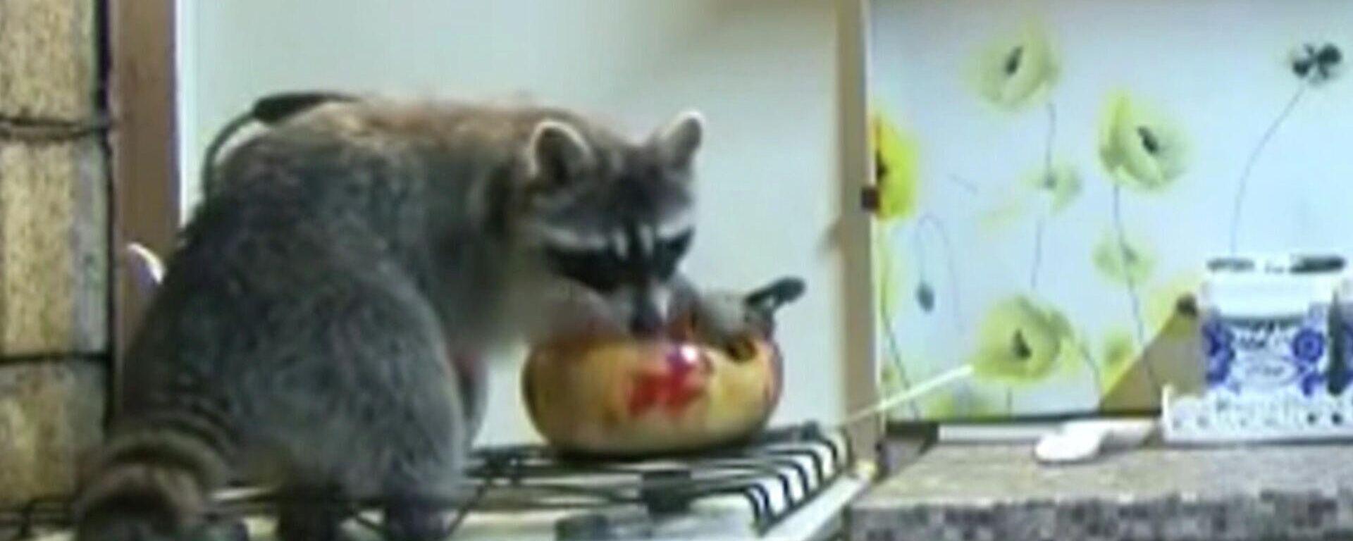 Πεινασμένος εισβολέας: Ρακούν μπαίνει κάθε βράδυ σε σπίτι και καθαρίζει την κουζίνα  - Sputnik Ελλάδα, 1920, 12.06.2021