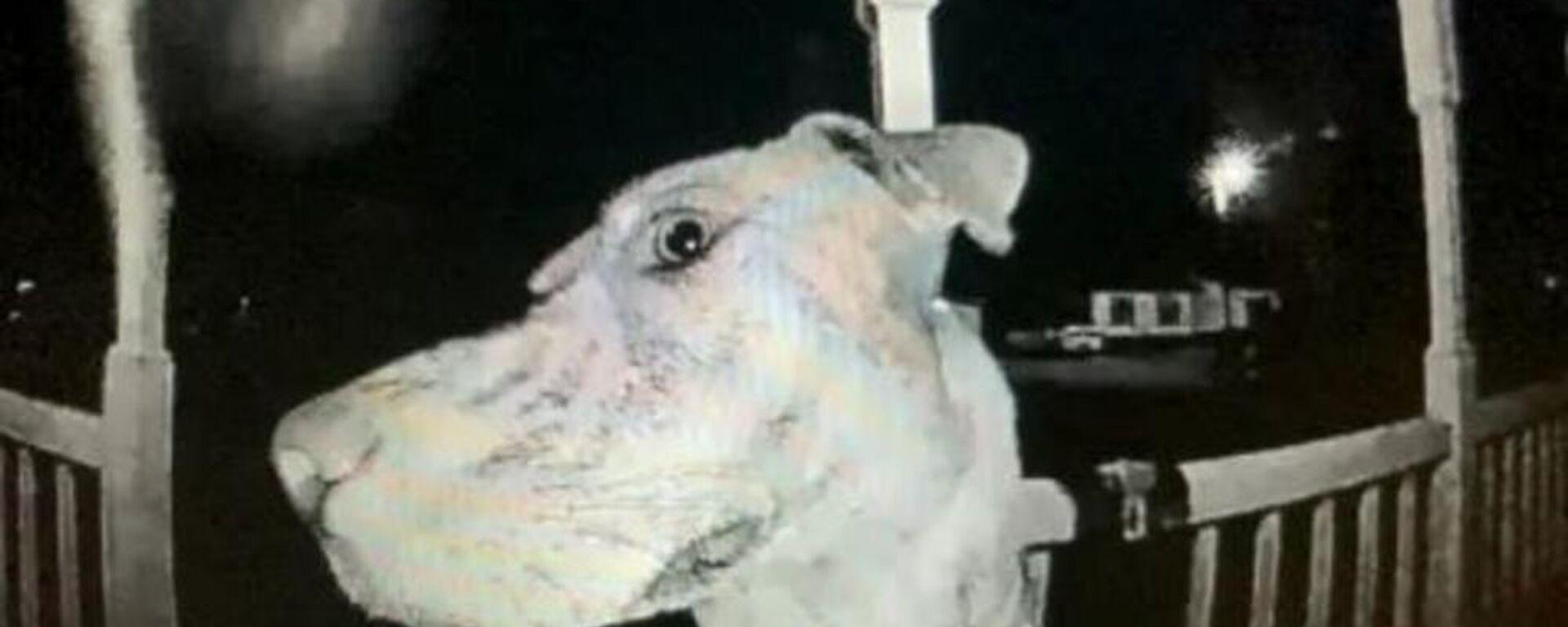 Εξαφανισμένη σκυλίτσα γυρνάει σπίτι τα χαράματα και χτυπάει το κουδούνι - Sputnik Ελλάδα, 1920, 03.07.2021