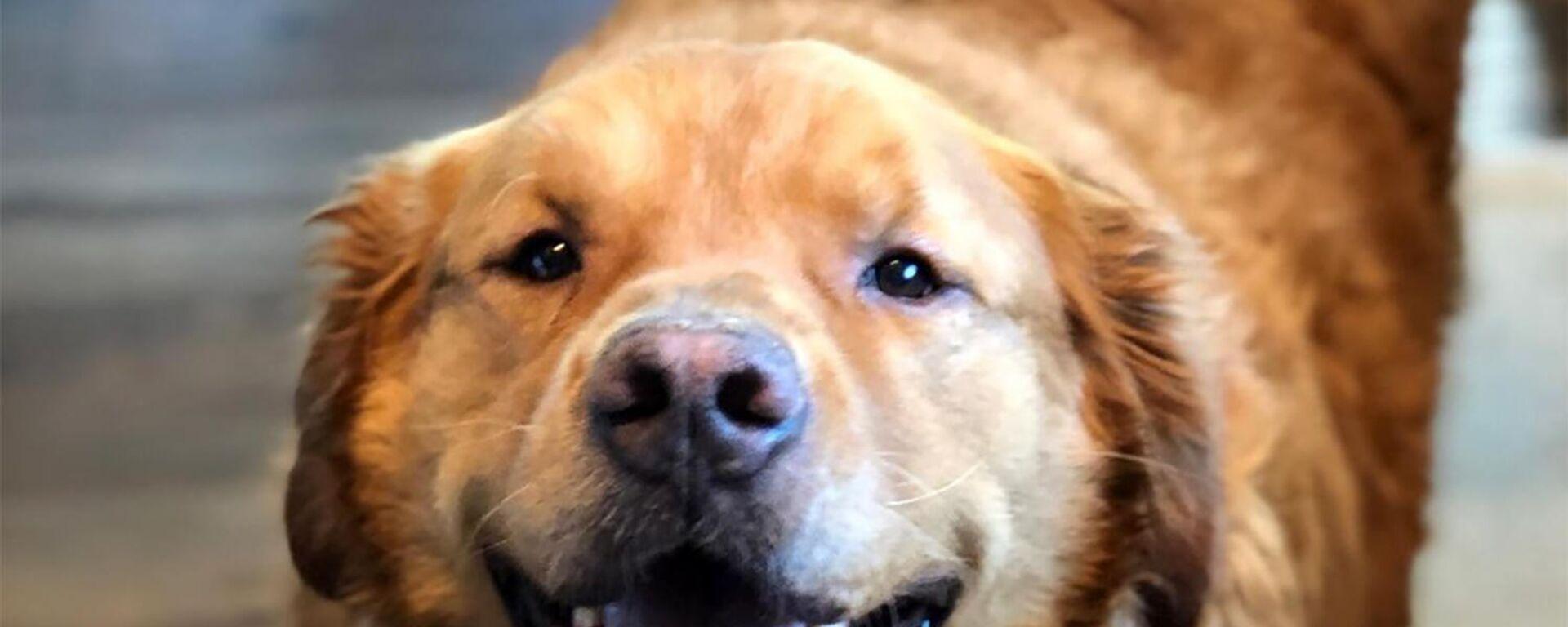 Γκόλντεν ριτρίβερ 68 κιλών: Υπέρβαρος σκυλάκος έχασε το μισό του βάρος και κέρδισε πίσω τη ζωή του - Sputnik Ελλάδα, 1920, 18.07.2021