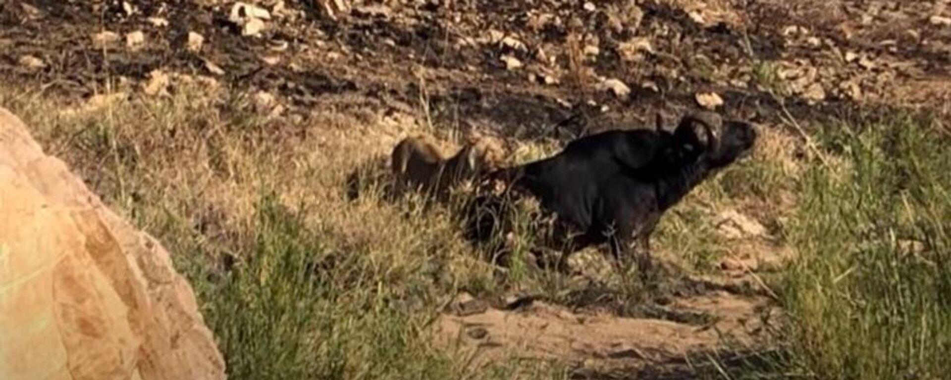 Λέαινα κυνηγάει βουβάλι στο εθνικό πάρκο άγριας ζωής Kruger στη Νότια Αφρική - Sputnik Ελλάδα, 1920, 18.07.2021