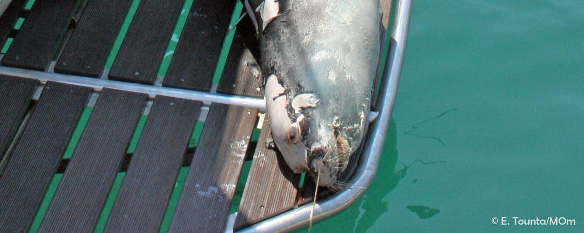 Βάρβαρο έγκλημα στην Αλόννησο: Δολοφόνησαν τη φώκια - μασκότ Κωστή - Sputnik Ελλάδα, 1920, 25.07.2021