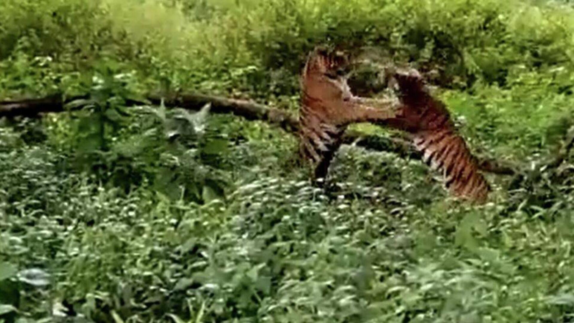 Αρσενικές τίγρεις μάχονται για τη βασιλεία της ζούγκλας - Sputnik Ελλάδα, 1920, 13.08.2021
