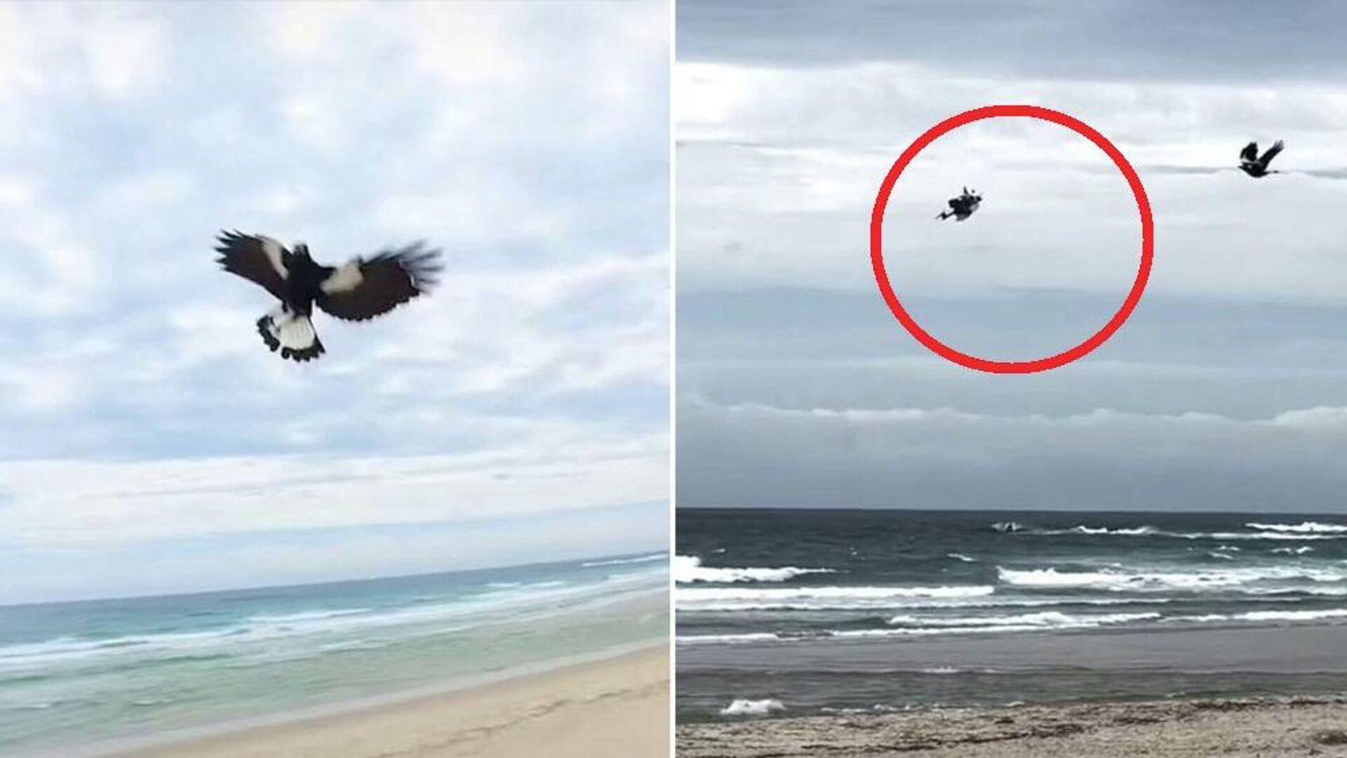 Εξαγριωμένη καρακάξα κυνηγάει drone στην Αυστραλία - Sputnik Ελλάδα, 1920, 12.09.2021