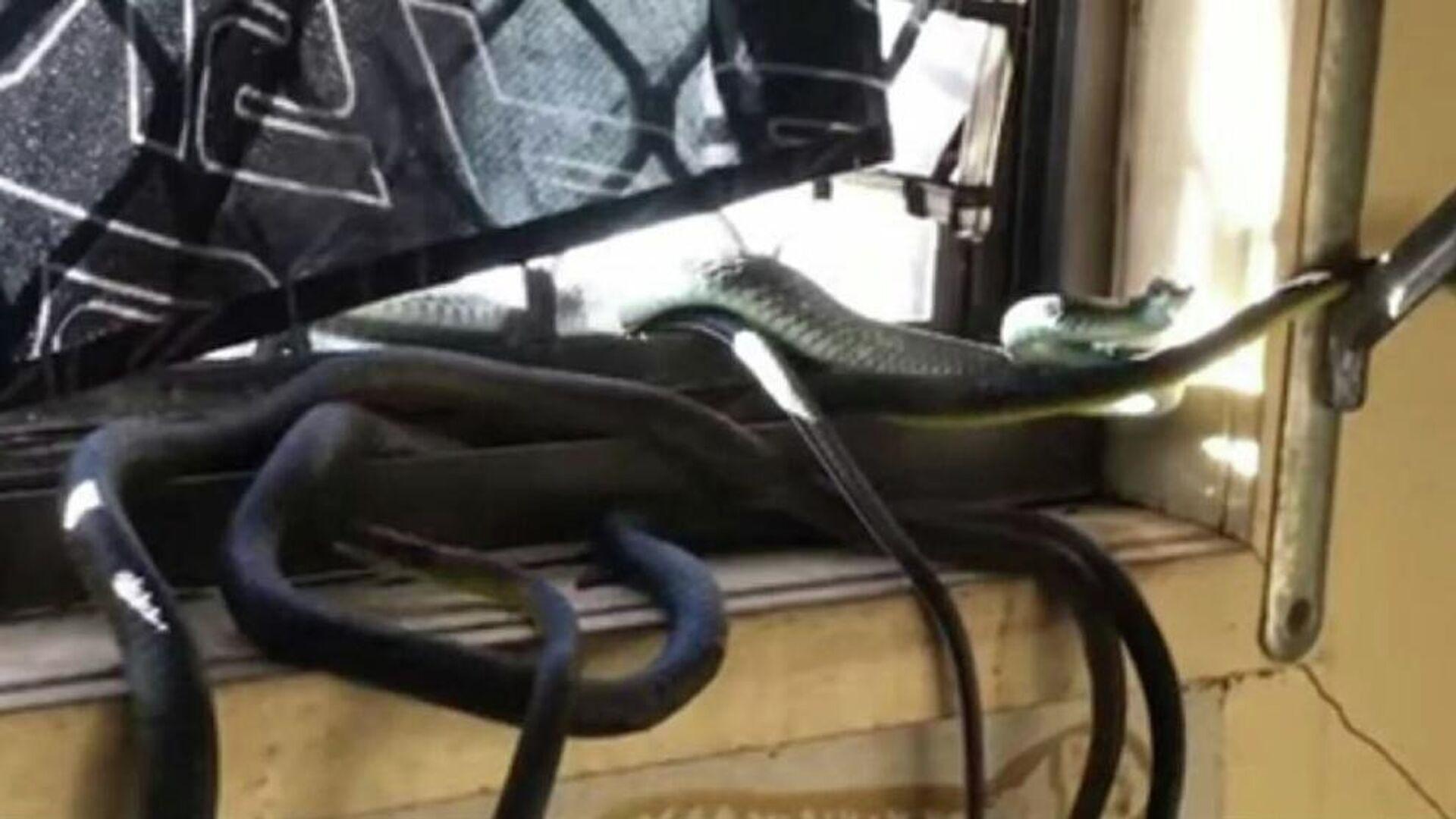 Φίδια του είδους (Opheodrys vernalis)  κάνουν σεξ σε παράθυρο σπιτιού στην Αυστραλία - Sputnik Ελλάδα, 1920, 19.09.2021