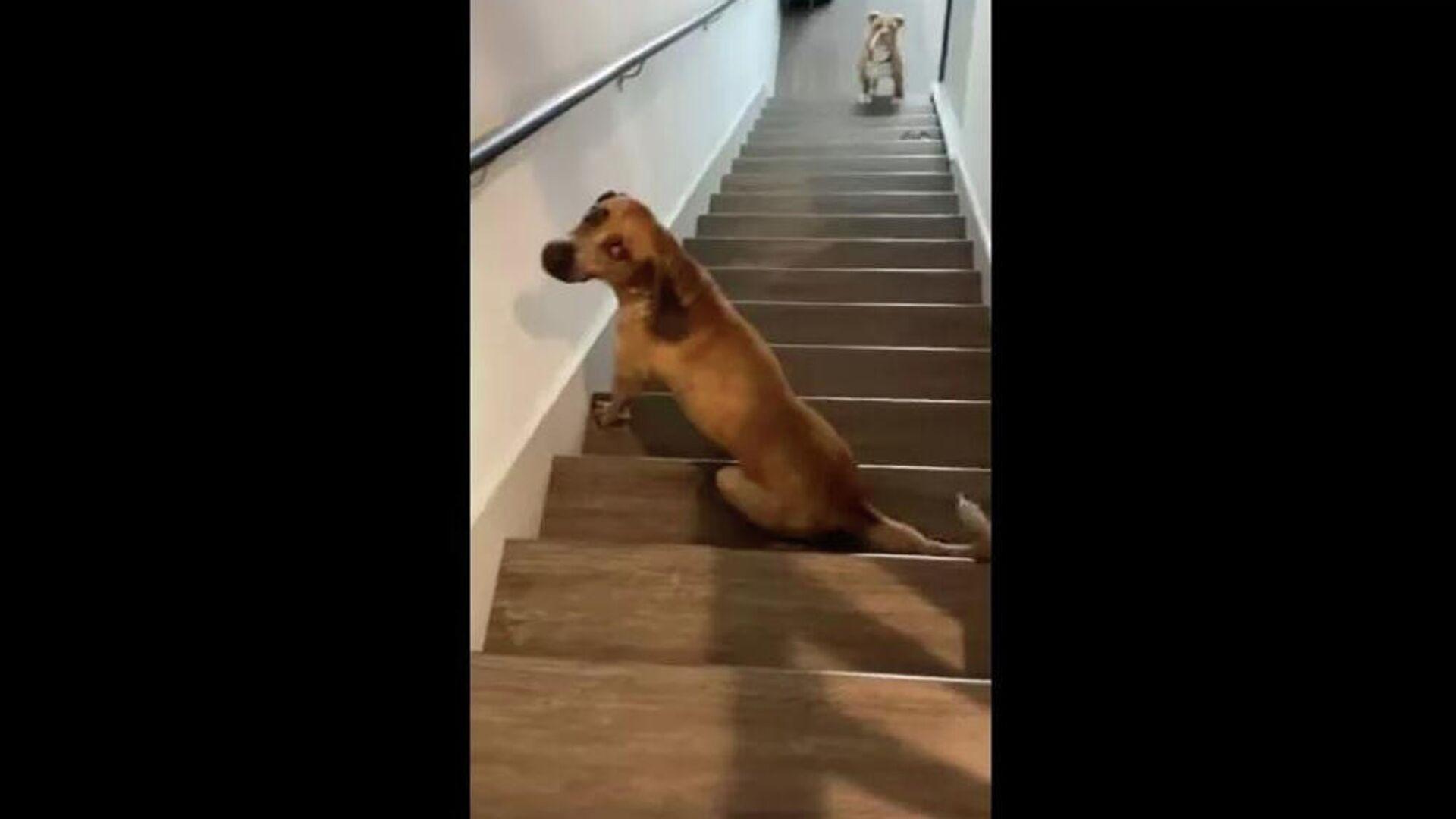 Σκυλάκι χάνει την ισορροπία του και γλιστράει στις σκάλες - Sputnik Ελλάδα, 1920, 24.09.2021