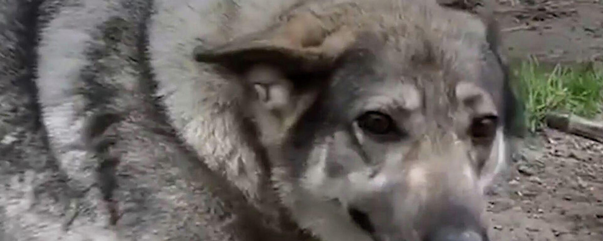 Μία Λαίδη ξαναγεννιέται: Σκυλίτσα που ζούσε αλυσοδεμένη και απομονωμένη βρήκε την ευτυχία  - Sputnik Ελλάδα, 1920, 26.09.2021