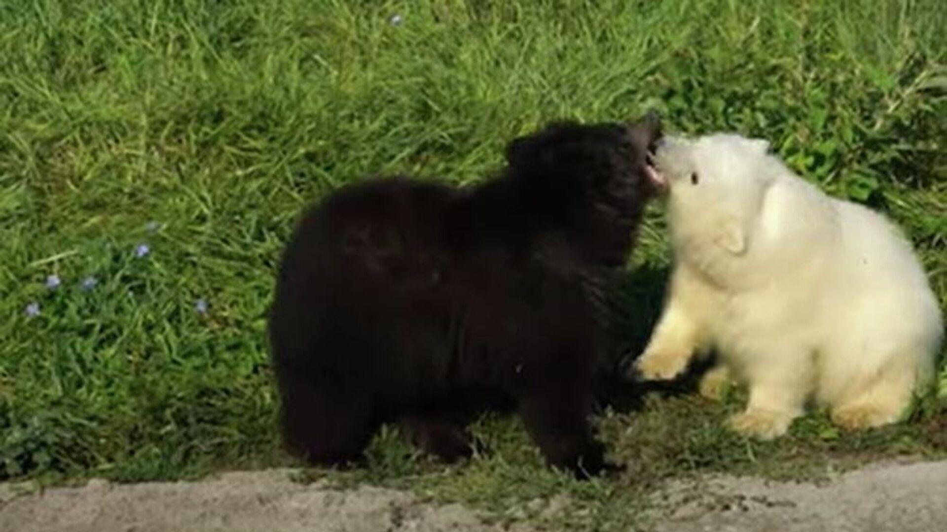 Αρκουδάκι γκρίζλι και πολικό αρκουδάκι είναι αχώριστα στον ζωολογικό κήπο του Ντιτρόιτ - Sputnik Ελλάδα, 1920, 25.09.2021