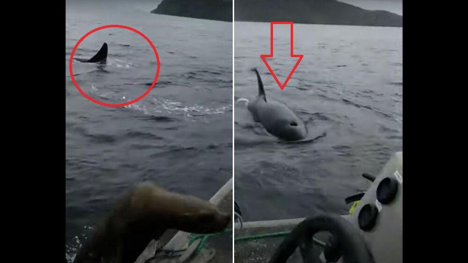Θαλάσσιος λέοντας ανεβαίνει σε βάρκα για να σωθεί από φάλαινες δολοφόνους - Sputnik Ελλάδα, 1920, 29.09.2021