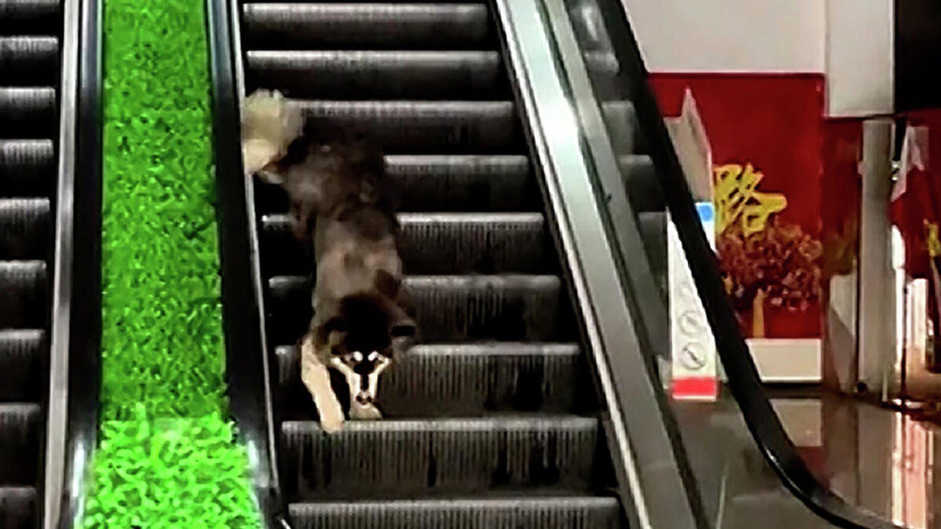 Χαριτωμένος σκυλάκος προσπαθεί να κατέβει τις κυλιόμενες σκάλες ανάποδα  - Sputnik Ελλάδα, 1920, 29.09.2021