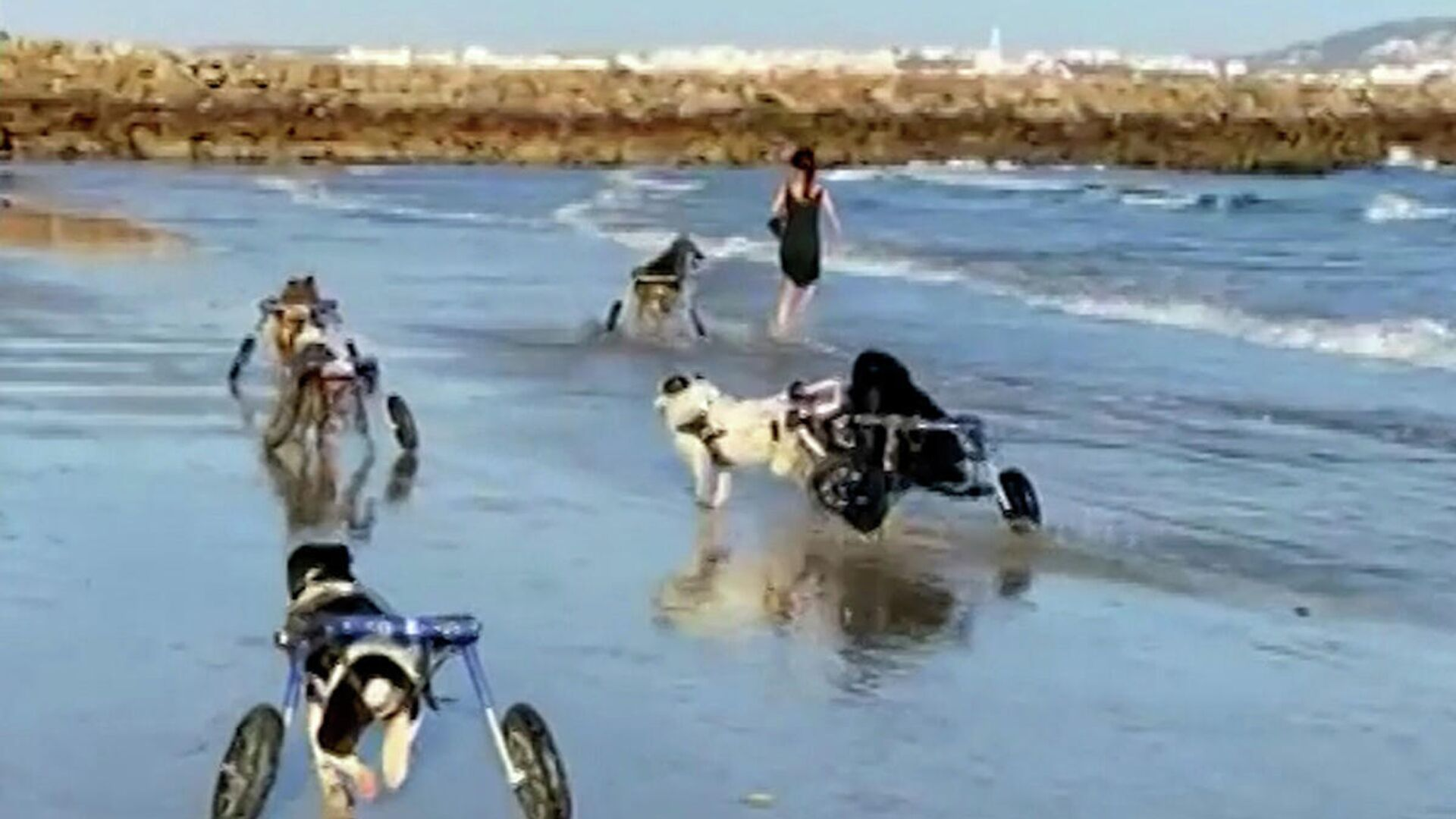 Σκύλοι με ειδικές ανάγκες απολαμβάνουν την πρώτη τους βόλτα με τα καινούρια τους αναπηρικά αμαξίδια - Sputnik Ελλάδα, 1920, 05.10.2021