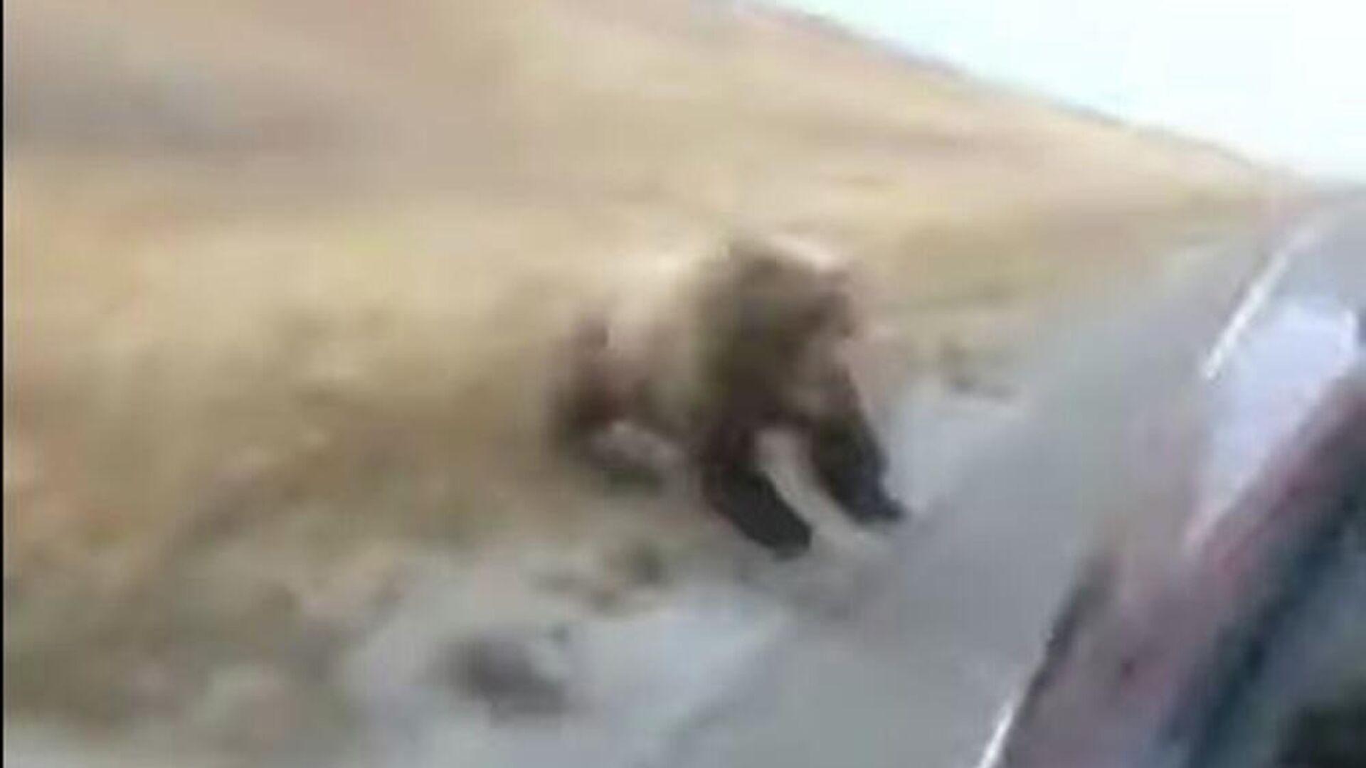 Μαμά αρκούδα επιτίθεται σε αμάξι να προστατεύσει τα μωρά της - Sputnik Ελλάδα, 1920, 08.10.2021