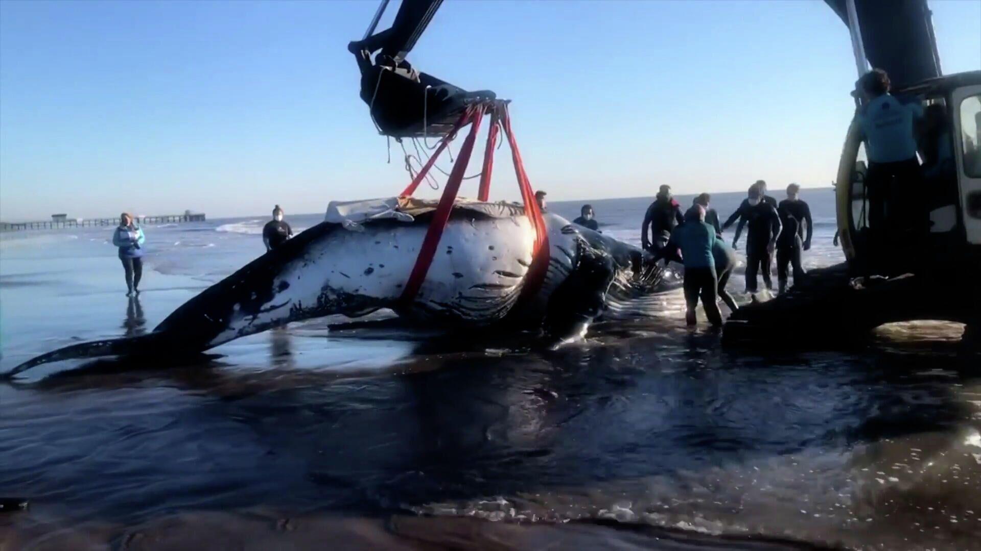 Επιχείρηση «γιγαντιαίων» διαστάσεων: Δύο μεγάπτερες φάλαινες διασώθηκαν στην Αργεντινή  - Sputnik Ελλάδα, 1920, 10.10.2021