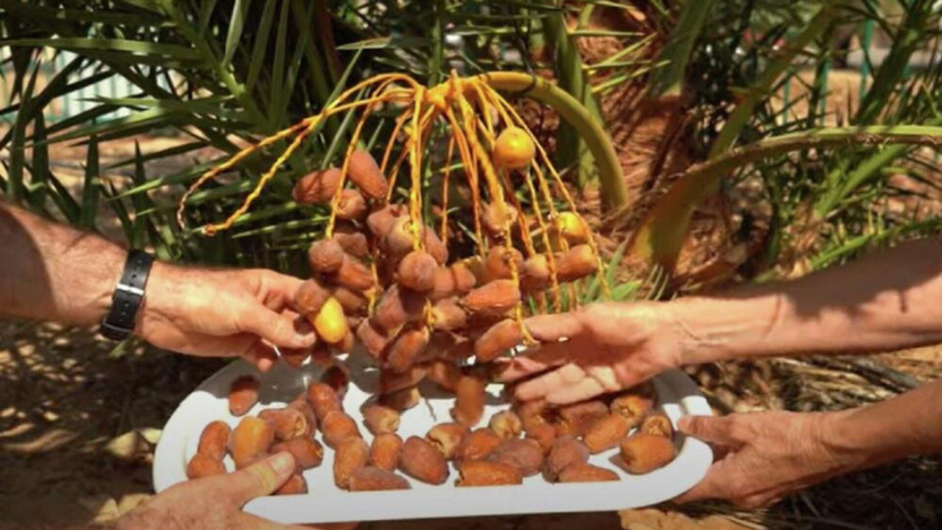 Επιστήμονες φύτεψαν αρχαίους σπόρους 2.000 ετών και έβγαλαν χουρμάδες - Sputnik Ελλάδα, 1920, 09.10.2021