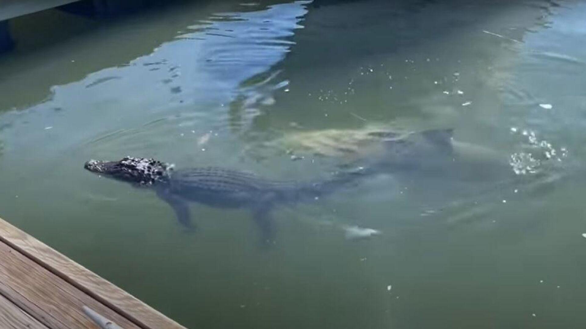 Καρχαρίας δαγκώνει το πόδι αλιγάτορα στη Νότια Καρολίνα των ΗΠΑ - Sputnik Ελλάδα, 1920, 10.10.2021